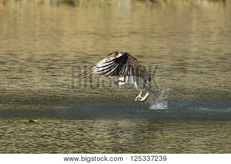 Osprey catches fish from water. An osprey swoops to catch a fish in Fernan Lake Idaho.