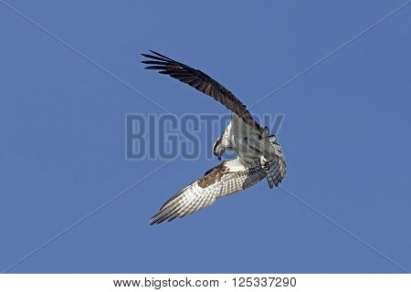 Osprey wings in forward flutter. An osprey in north Idaho is fluttering its wings up in a clear blue sky.