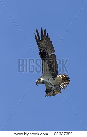 Majestic osprey in the sky. An osprey in north Idaho soars up in the clear blue sky.
