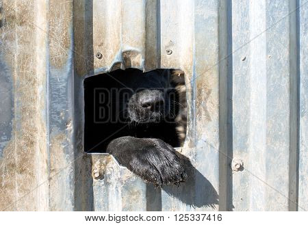 dog's nose and paw closeup. a dog's nose is seen through a hole in the fence. copy space for your text