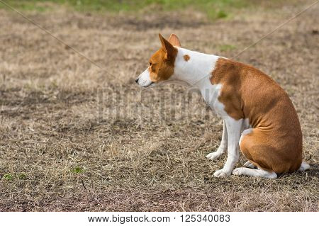 Basenji dog sitting on the ground and looking narrowly at the distance