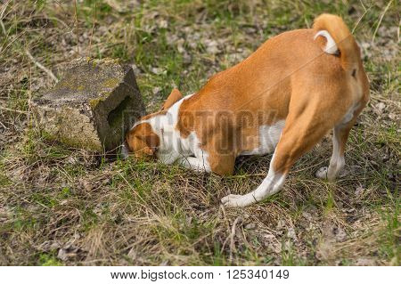 Cunning basenji dog chasing after rodent which hiding under a stone