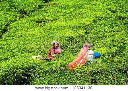 KERALA, INDIA - JANUARY 15, 2010: Unidentified Indian woman harvests tea leaves at tea plantation at Munnar. Only uppermost leaves are collected, and workers collect daily up to 30 kilos of tea leaves