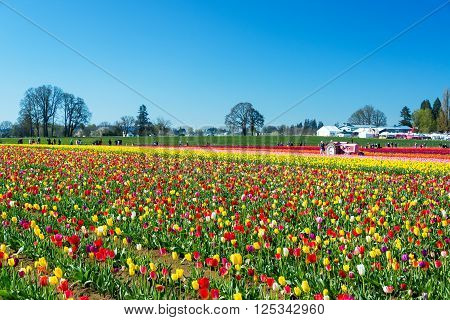 WOODBURN OR - MARCH 30: People visit a colorful tulip farm in Woodburn OR on March 30 2016