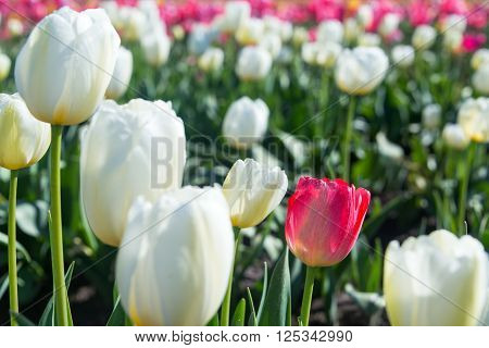 White And Red Tulip Closeup