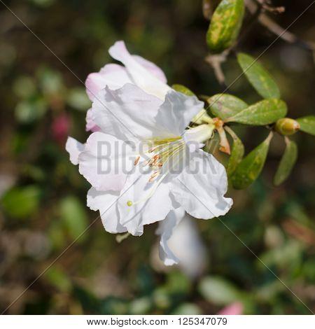 Elegant white azalea flowers blooming on tree