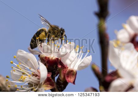 Honey bee working on apricot flower. Animal spring work.
