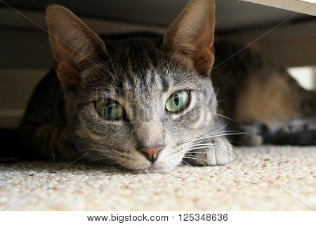 Hidden Tabby Cat (young tabby cat under a dresser laying on a white carpet or rug).
