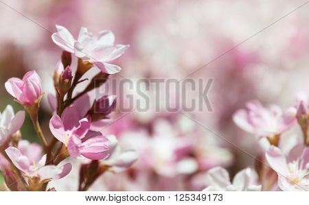 Indian Hawthorn (Rhaphiolepis indica) Pink Lady flowers blooming in spring time. Shallow depth of field.