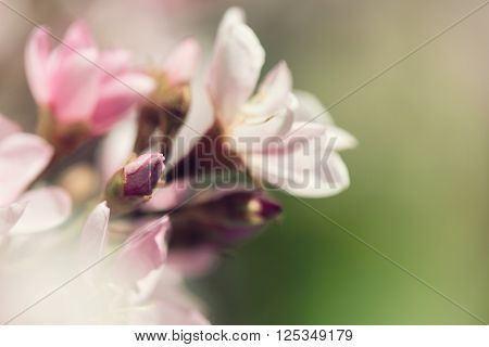 Closeup of Indian Hawthorn (Rhaphiolepis indica) Pink Lady flowers blooming in spring time. Shallow depth of field with copy space. Vintage filter effects.