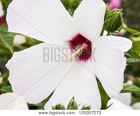 Detail photo of white hibiscus flower. Big petals and pistil. Beauty in nature.