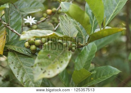 Coffee plant with young green coffee fruits and coffee flower. Leaves damaged due to disease,pests and weather.