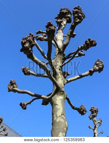 The crown of a newly pollarded street tree, (Platanus) with all side branches removed. Against a background of blue sky.