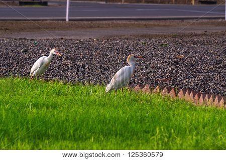 migrating egrets take refuge in the temperate climate of Jeddah, Saudi Arabia