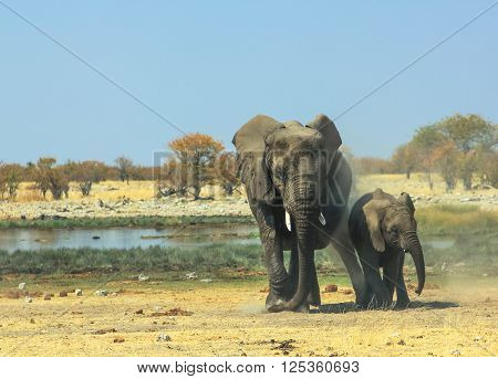 Mother and baby elephant walking in Ethosa National Park Namibia at a water pool in the savanna.