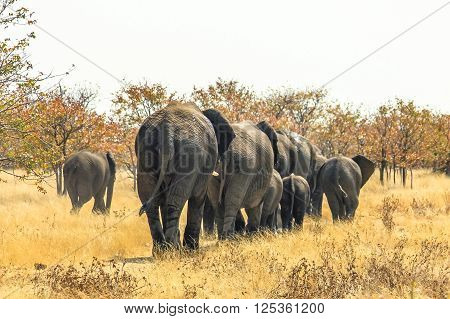 herd of African elephants walking away, from behind,  in Ethosa National Park Namibia on yellow grass savanna ground