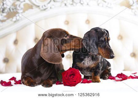 tvo dachshund and rose flower