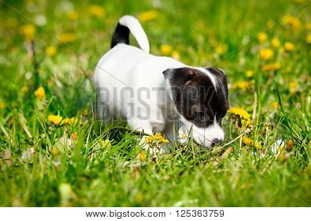 Jack russell terrier in the spring garden