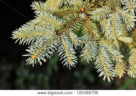 Close up of blue fir tree branch