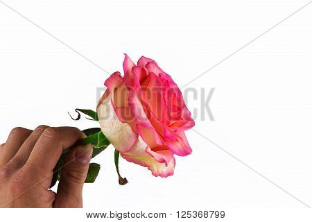 man's hand gives a gentle rose. declaration of love.