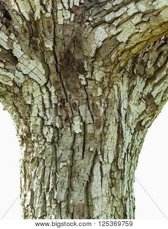 Detail of the bark of a tree trunk walnut