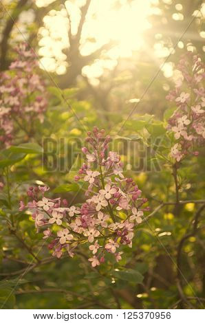 lilac bush in spring blooming garden on sunrise