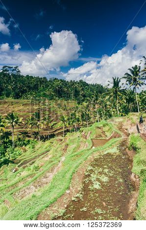 Rice paddy field close up in Ubud Bali Indonesia Southeast Asia Asia