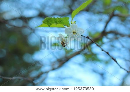 honeybee collecting pollen at cherry blossoms, spring, macro
