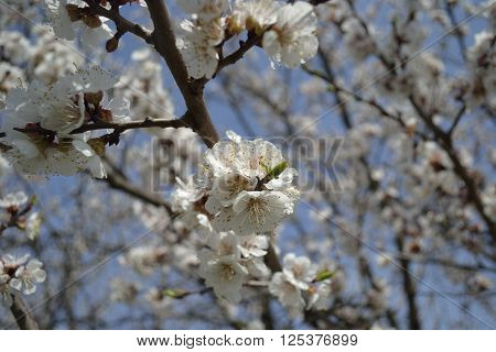 Apricot blossoms in sunny warm weather in spring
