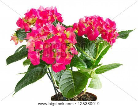 Growing  pink hortensia flowers isolated on white background