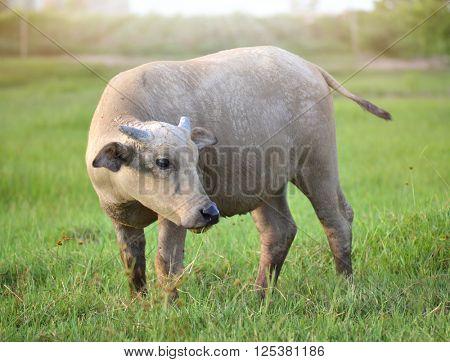 China's rural water buffalo