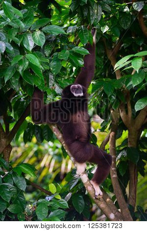 One Gibbon Outdoors In The Forest Hanging From A Jungle Tree