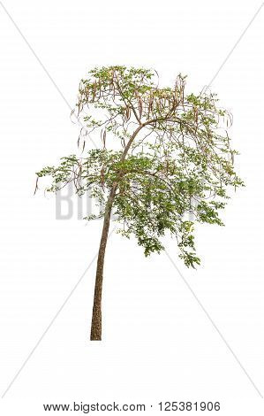 A tree with green leaves isolated on white background.