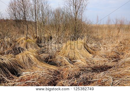 bog at the beginning of spring with dry reed hummocks and bushes