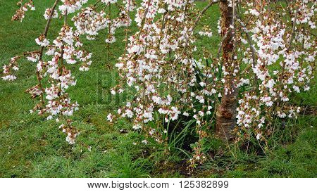 White blossom of weeping cherry tree (prunus)