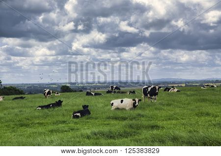 Cows at pasture in Cotes-d'Armor (Brittany France) at summer