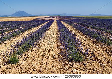 Plateau de Valensole (Alpes-de-Haute-Provence Provence-Alpes-Cote d'Azur France) field of lavender