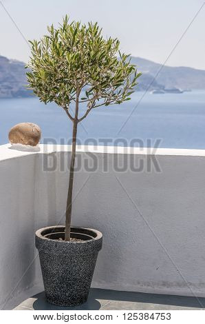 An image of a potted olive tree on a terrace at Oia overlooking Santorinis caldera with the villages of imerovigli and Fira in the distance.