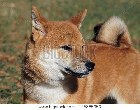 Young dog shiba inu on natural background