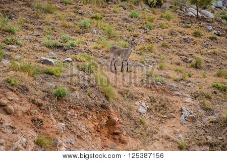 Wild goat in the mountains of Marbella Spain