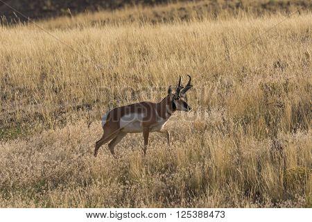 pronghorn antelope buck on the wyoming prairie