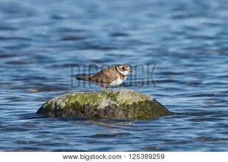 Common ringed plover resting on a rock surrounded by water