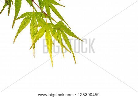Japanese maple leaves with dew drops over white background