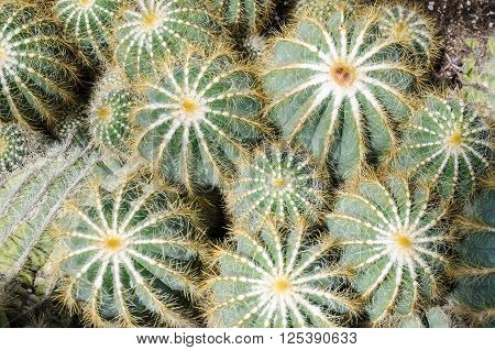 Group of Parodia magnifica cacti in a greenhouse