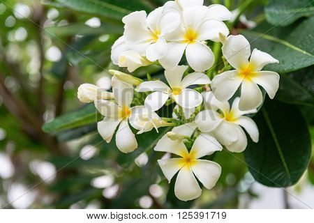White And Yellow Blooms Of A Plumeria Tree