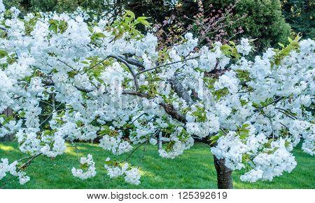Closeup shot of abundant white Cherry blossoms. Location is Seattle Washington.