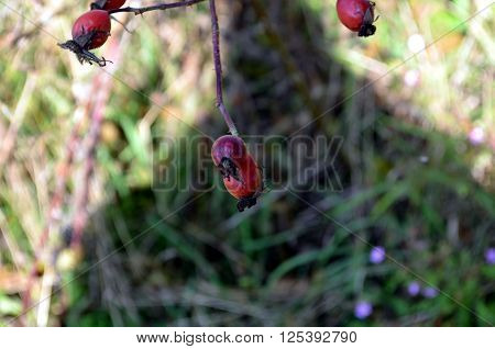 Rosehip bush on a nice autumn background in norway