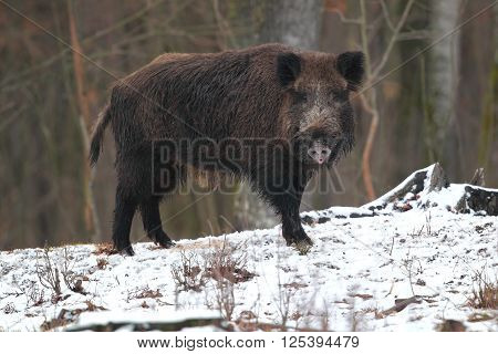 Wild boar standing in the snow in a forest