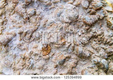 Fossilized Sea Shells Embedded In Rock