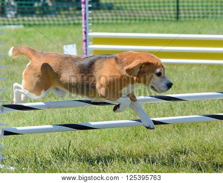 Beagle Leaping Over a Jump at Dog Agility Trial